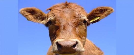 Арендованные коровы