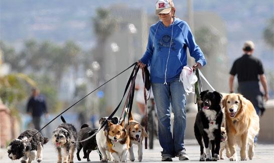 Выгул собак как работа